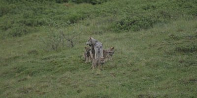 Wolf Family in the WILD,