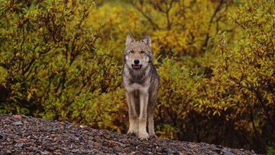 Wolf Pup in the WILD,