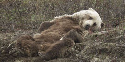 Grizzly Bear Rests On Back