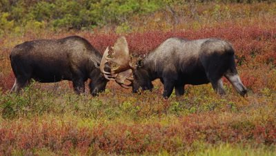 Alaskan Moose (Alces alces)