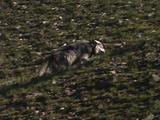 Wolf (Canis Lupus) Walks Slowly Uphill