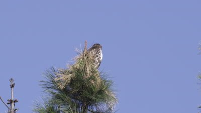 Red-tailed hawk, (Buteo jamaicensis)