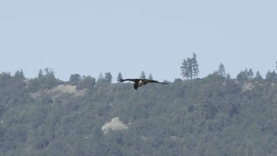 Ferruginous hawk, (Buteo lagopus)