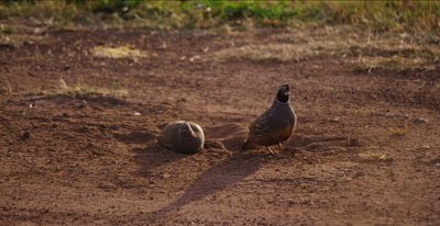 California Quail, (Callipepla californica).