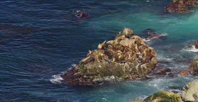 California Sea Lion, (Zalophus californianus)