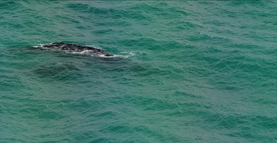 Pacific Gray Whale,  (Eschrichtius robustes).