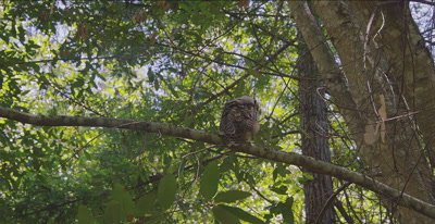 Spotted Owl, (Strix occidentalis), Old Growth Redwood forest