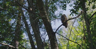 Spotted Owl, Chick, (Strix occidentalis), Old Growth Redwood forest