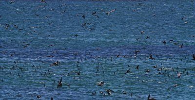 Feeding Frenzy, Gulls, Pelicans Cormorants Sea Lions and Whales