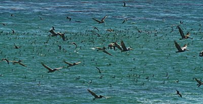 Feeding Frenzy, Gulls, Pelicans Cormorants Sea