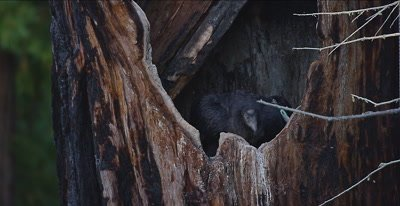 California Condor  (Gymnogyps californianus), Nest