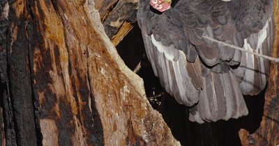 California Condor  (Gymnogyps californianus), Nest feeding