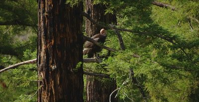 California Condor  (Gymnogyps californianus), Establishing clip