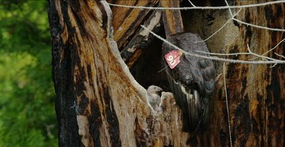 California Condor  (Gymnogyps californianus), Nest Month old baby