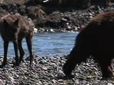 Grizzly Bear (Ursus Arctos) Walks Past Wolf (Gray Wolf, Canis Lupus), Wolf Goes To Carcass And Feeds