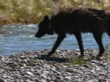 Wolf (Gray Wolf, Canis Lupus) Walks Along Stream To Carcass And Feeds