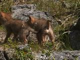 Coyote (Canis Latrans) Pups Play
