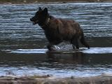 Wolf (Gray Wolf, Canis Lupus) Stands In Front Of River And Walks Through Water