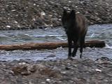 Wolf (Gray Wolf, Canis Lupus) Walks In Stream