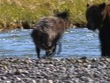Wolf (Gray Wolf, Canis Lupus) And Grizzly Bear (Ursus Arctos) Interact Near Stream