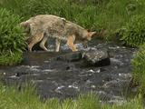 Coyote (Canis Latrans) Chases Trout In Stream