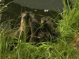 River Otters (Lutra Canadensis) Dive Into Water At Sound Of Thunder