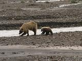 Grizzly Bear Family (Ursus Arctos) Walks Along The River