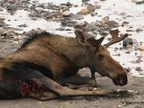 Injured Moose (Alces Alces) Lays Down Near River