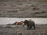 Grizzly Bear (Ursus Arctos) Tears Stomach Out Of Moose Carcass
