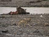 Grizzly Bear (Ursus Arctos) Feeds On Moose Carcass While Wolf (Gray Wolf, Canis Lupus) Walks In Foreground