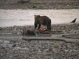 Grizzly Bear (Ursus Arctos) Feeds From Moose Carcass And Chases Raven Away