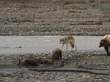 Wolf (Gray Wolf, Canis Lupus) Approaches Grizzly Bear Family (Ursus Arctos) Feeding On Moose Carcass
