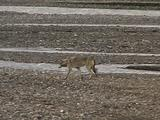 Wolf (Gray Wolf, Canis Lupus) Walks Along River Bed