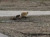 Grizzly Bear (Ursus Arctos) Watches Wolf (Gray Wolf, Canis Lupus) Carry Meat Away