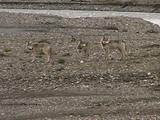 Wolves (Gray Wolf, Canis Lupus) Stand In River Bed Looking At Carcass Then Walk Off Camera