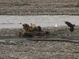 Grizzly Bear (Ursus Arctos) Nurses Cubs Near Moose Carcass