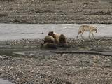 Wolf (Gray Wolf, Canis Lupus) Walks Behind Grizzly Bear And Cubs (Ursus Arctos) Feeding On Moose Carcass