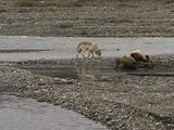 Wolf (Gray Wolf, Canis Lupus) Approaches Grizzly Bear And Cubs (Ursus Arctos) Feeding On Moose Carcass