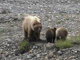 Grizzly Bear Family (Ursus Arctos) Digs Roots