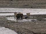 Grizzly Bear (Ursus Arctos) Lunges At Four Wolves (Gray Wolf, Canis Lupus) Over Moose Carcass
