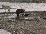 Grizzly Bear (Ursus Arctos) Chases Wolf (Gray Wolf, Canis Lupus) Away From Moose Carcass