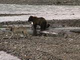 Grizzly Bear (Ursus Arctos) Eats From Moose Carcass While Wolves (Gray Wolf, Canis Lupus) Walk In Foreground