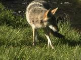 Coyote (Canis Latrans) Carries Cutthroat Trout (Oncorhynchus Clarki Bouvieri) Away From Stream
