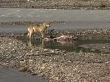 Lone Wolf (Gray Wolf, Canis Lupus) Eats From Moose Carcass Near River