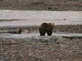 Grizzly Bear (Ursus Arctos) Chases A Wolf (Gray Wolf, Canis Lupus) Away From The Moose Carcass