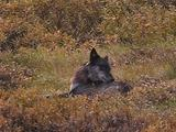 Wolves (Gray Wolf, Canis Lupus) Lays In Bushes And Grooms