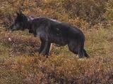 Wolves (Gray Wolf, Canis Lupus) Lays In Bushes, Stands, And Walks Off