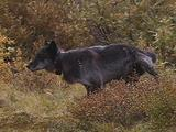 Wolves (Gray Wolf, Canis Lupus) Urinates In Bushes