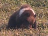 Grizzly Bear (Ursus Arctos) With White Collar Eats Berries