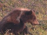 Grizzly Bear (Ursus Arctos) With White Collar Scratches Itch